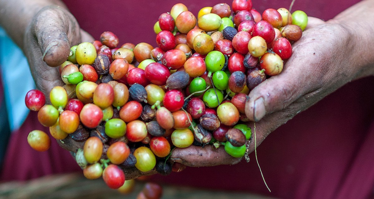 Ripe coffee beans in a farmer's hands