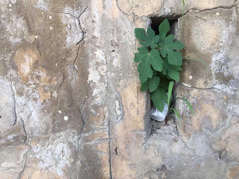 asmall fig tree growing in a recess in an old wall