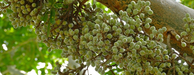 Ficus sycomorus fruit clusters on tree