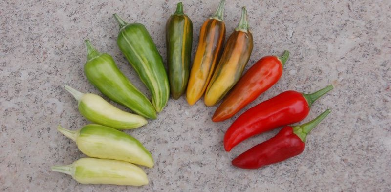 Rainbow of fish pepper pods from white to red