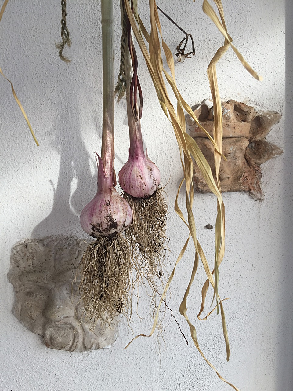 Two bulbs of garlic hanging to dry next to a wall